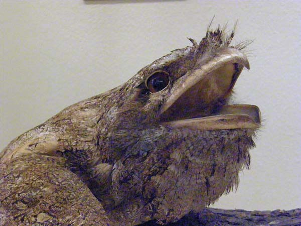Papuan Frogmouth | Podargus papuensis photo