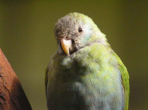 Hooded Parrot | Psephotus dissimilis photo