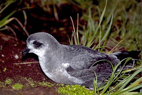 Mottled Petrel | Pterodroma inexpectata photo