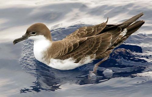 Great Shearwater | Puffinus gravis photo