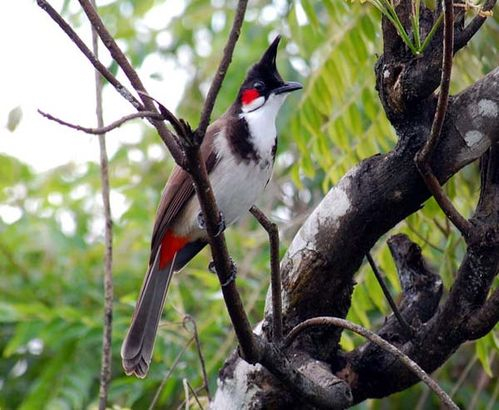 Red-whiskered Bulbul | Pycnonotus jocosus photo