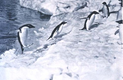 Adelie Penguin | Pygoscelis adeliae photo