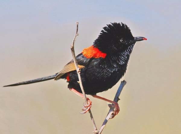 Red-backed Fairy-wren | Malurus melanocephalus photo