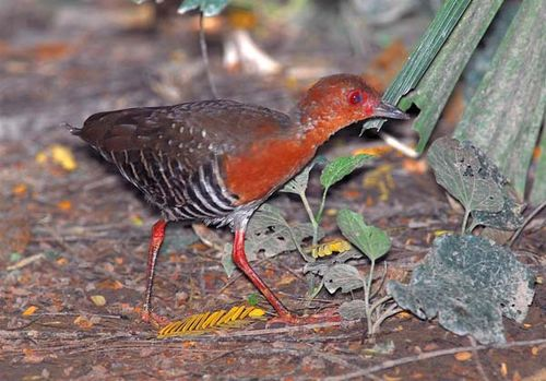 Red-legged Crake | Rallina fasciata photo
