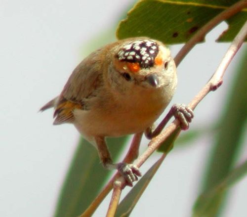 Red-browed Pardalote | Pardalotus rubricatus photo