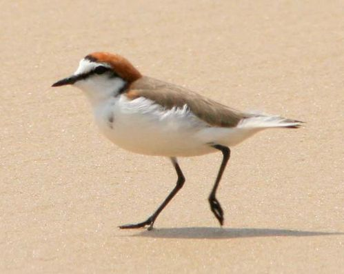 Red-capped Plover | Charadrius ruficapillus photo