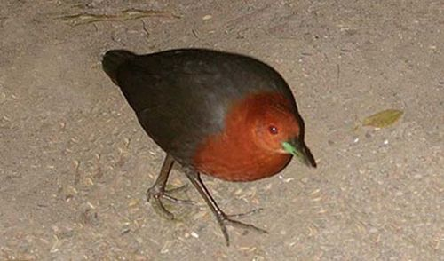 Red-necked Crake | Rallina tricolor photo