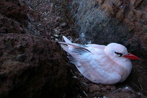 Red-tailed Tropicbird | Phaethon rubricauda photo