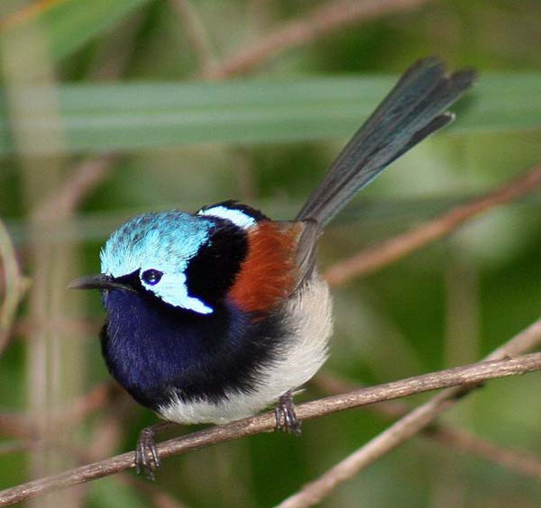 Red-winged Fairy-wren | Malurus elegans photo
