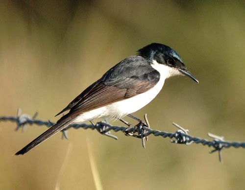 Restless Flycatcher | Myiagra inquieta photo