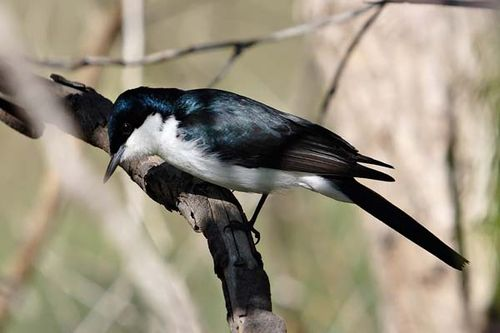 Restless Flycatcher | Myiagra inquieta photo