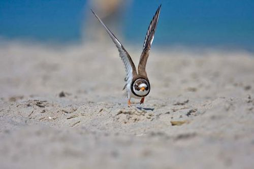 Ringed Plover | Charadrius hiaticula photo