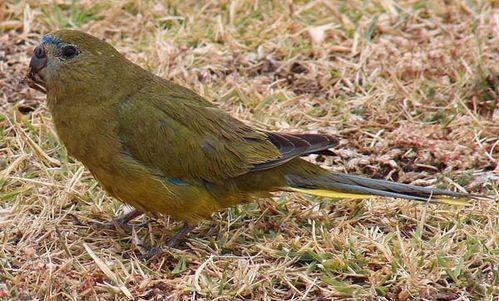 Rock Parrot | Neophema petrophila photo