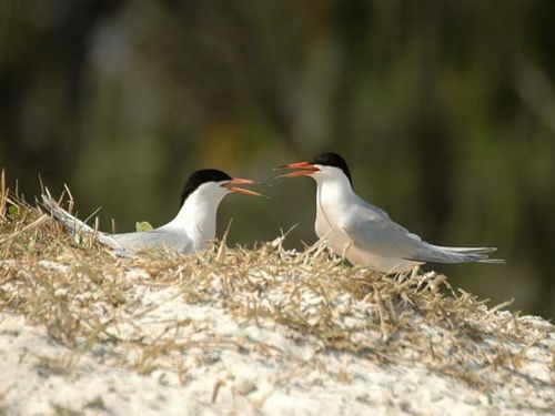 Roseate Tern | Sterna dougallii photo