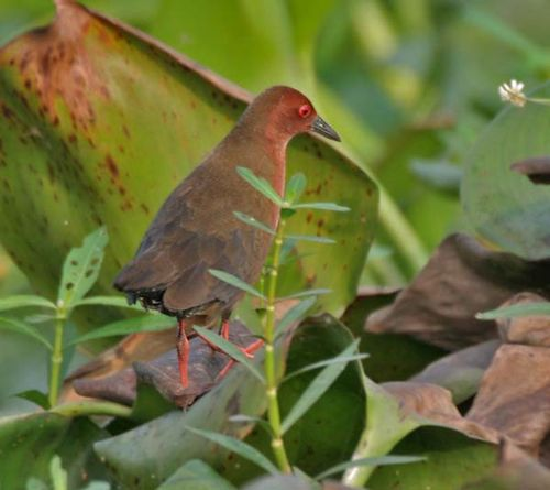 Ruddy-breasted Crake | Porzana fusca photo