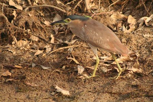Nankeen Night-heron | Nycticorax caledonicus photo