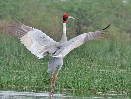 Sarus Crane | Grus antigone photo