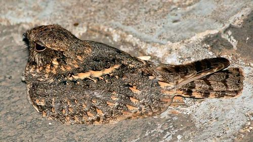Savanna Nightjar | Caprimulgus affinis photo