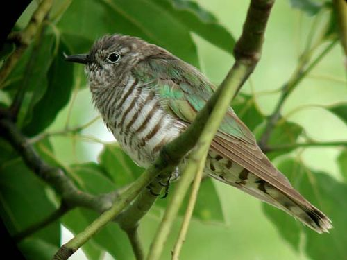 Shining Bronze-Cuckoo | Chrysococcyx lucidus photo