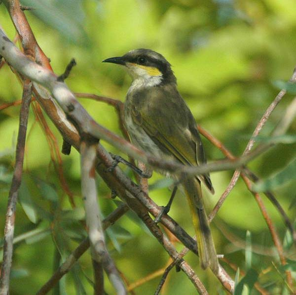 Singing Honeyeater | Lichenostomus virescens photo