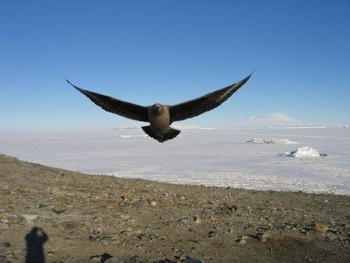 Brown Skua | Stercorarius antarcticus photo