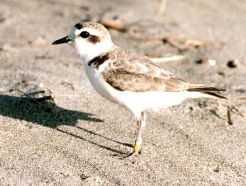 Kentish Plover | Charadrius alexandrinus photo