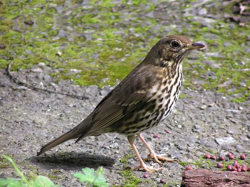 Song Thrush | Turdus philomelos photo