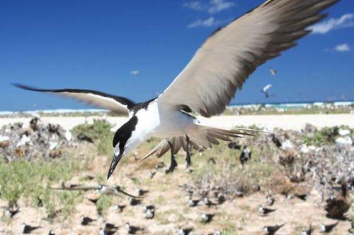 Sooty Tern | Sterna fuscata photo