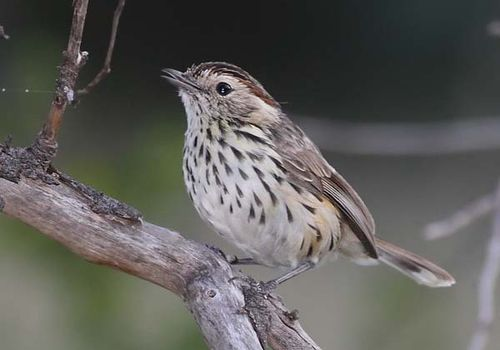 Speckled Warbler | Chthonicola sagittatus photo
