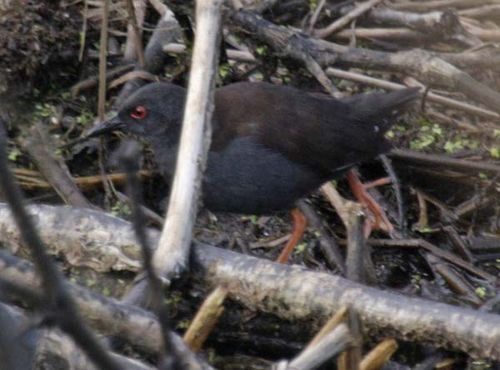 Spotless Crake | Porzana tabuensis photo