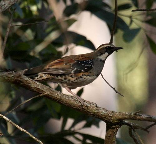 Spotted Quail-thrush | Cinclosoma punctatum photo