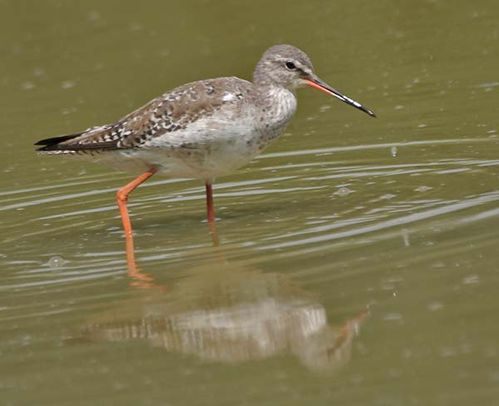 Spotted Redshank | Tringa erythropus photo
