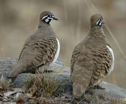 Squatter Pigeon | Geophaps scripta photo