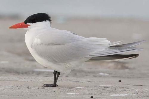 Caspian Tern | Sterna caspia photo