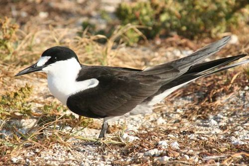 Sooty Tern | Sterna fuscata photo