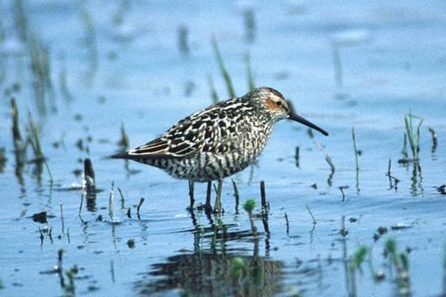 Stilt Sandpiper | Micropalama himantopus photo