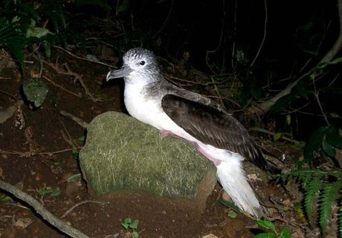 Streaked Shearwater | Calonectris leucomelas photo