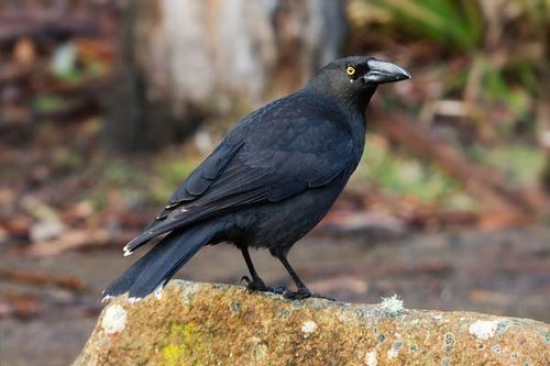 Black Currawong | Strepera fuliginosa photo