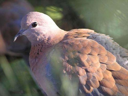 Laughing Turtle-Dove | Streptopelia senegalensis photo