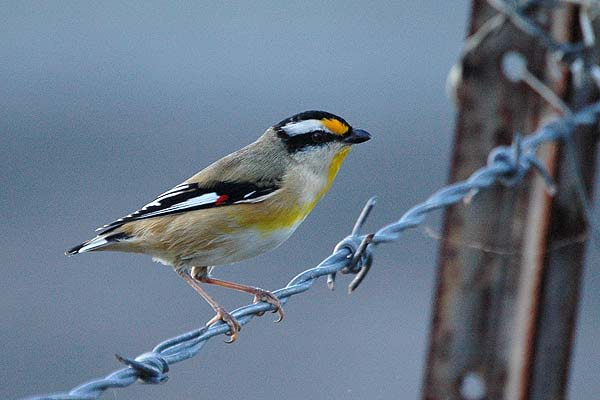 Striated Pardalote | Pardalotus striatus photo
