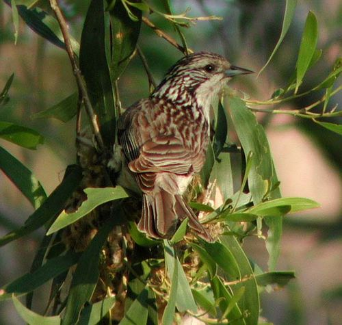 Striped Honeyeater | Plectorhyncha lanceolata photo