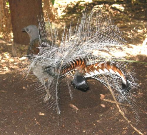 Superb Lyrebird   Menura novaehollandiae photo
