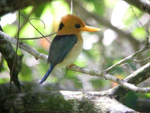 Yellow-billed Kingfisher | Syma torotoro photo