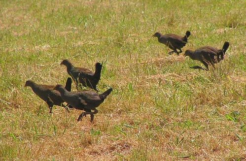 Tasmanian Native Hen | Gallinula mortierii photo