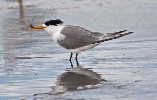 Lesser Crested Tern | Sterna bengalensis photo