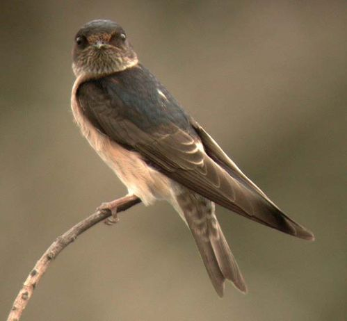 Tree Martin | Petrochelidon nigricans photo