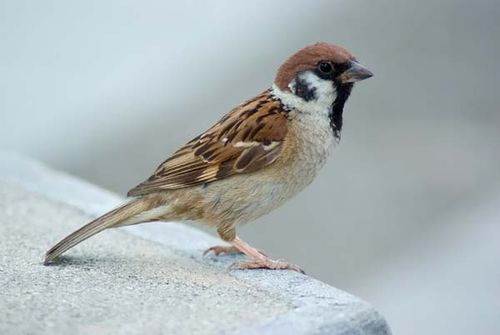 Eurasian Tree Sparrow | Passer montanus photo