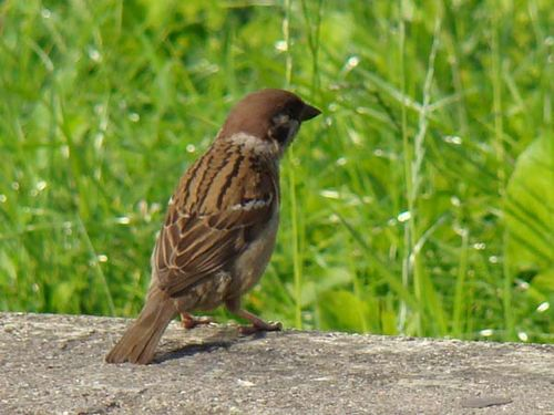 Eurasian Tree Sparrow | Passer montanus photo