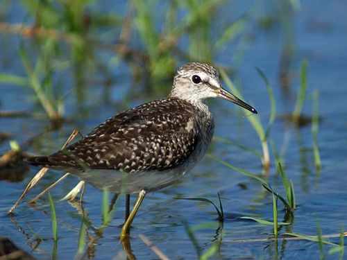 Wood Sandpiper | Tringa glareola photo