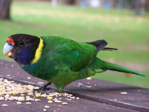 Twenty-eight Parrot | Barnardius zonarius semitorquatus photo